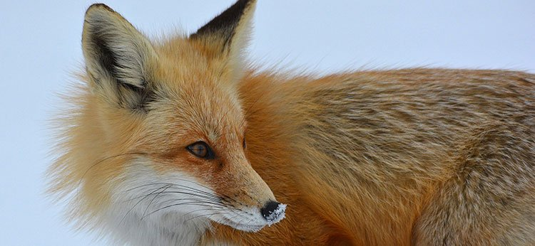 Red Fox Peggy Cadigan, Wikimedia Commons