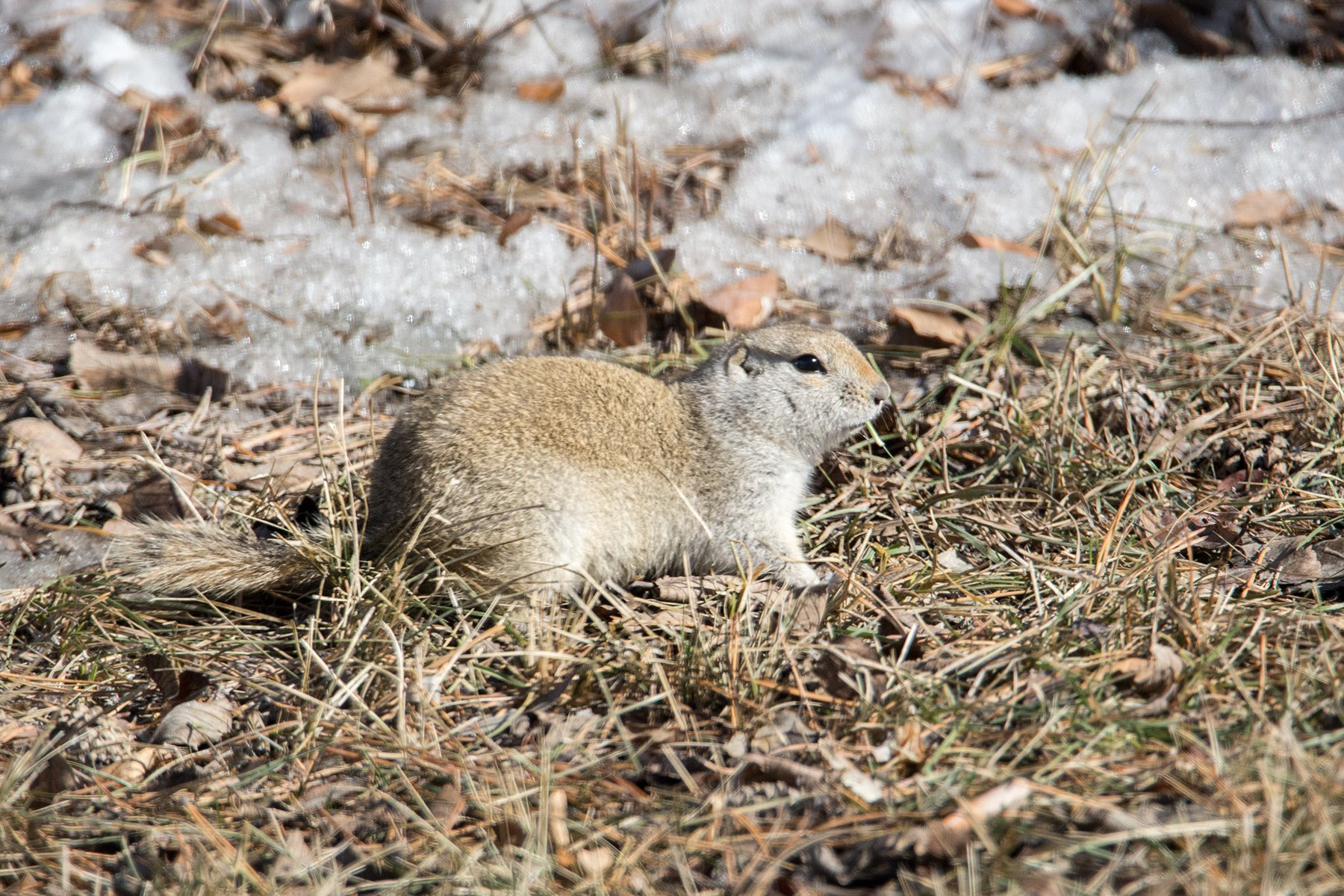 Richardson's Ground Squirrel - Meghan Mickelson